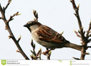 house-sparrow-791726[1]